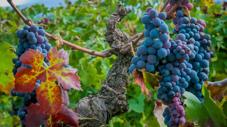 Гроздья винограда.